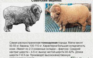Советский меринос — описание и характеристика породы и шерсти